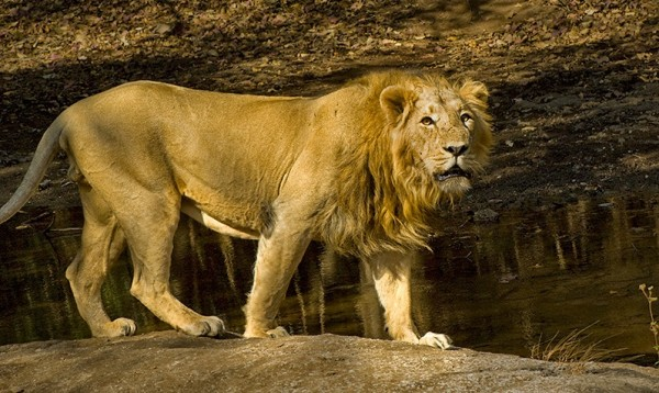 Asiatic Lion - UPSC Environment and Ecology