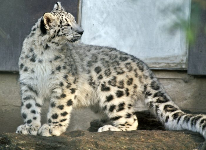 Snow Leopard: UPSC Environment and Ecology