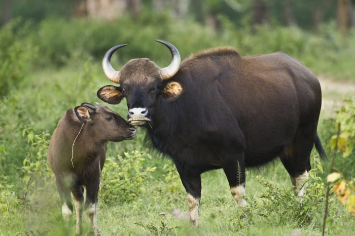 Gaur (Indian Bison) - UPSC Environment and Ecology