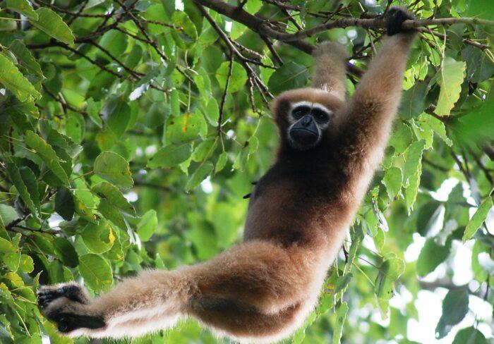Hoolock Gibbons - UPSC Environment and Ecology