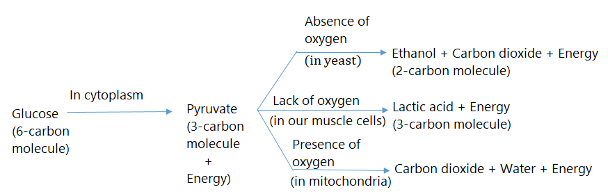 NCERT Solution for Class 10 Science Chapter 6 - image 1