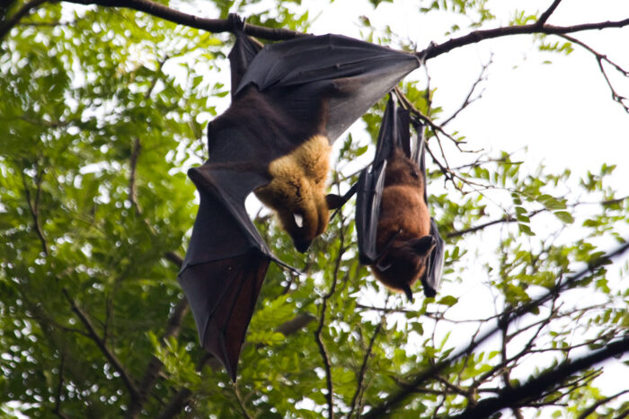 Indian Flying Fox - UPSC Environment and Ecology