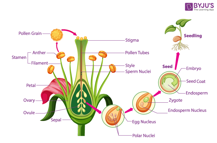 Fertilization and seed formation in flowers