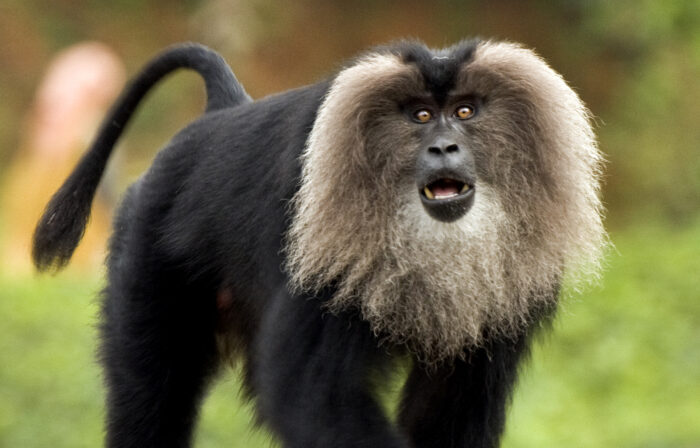 Lion-Tailed Macaque- UPSC Environment and Ecology