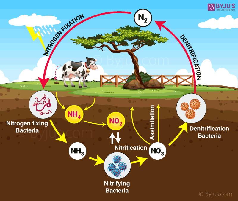 Nitrogen Cycle Explanation