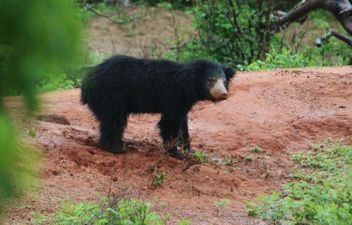 Sloth Bear - UPSC Environment and Ecology