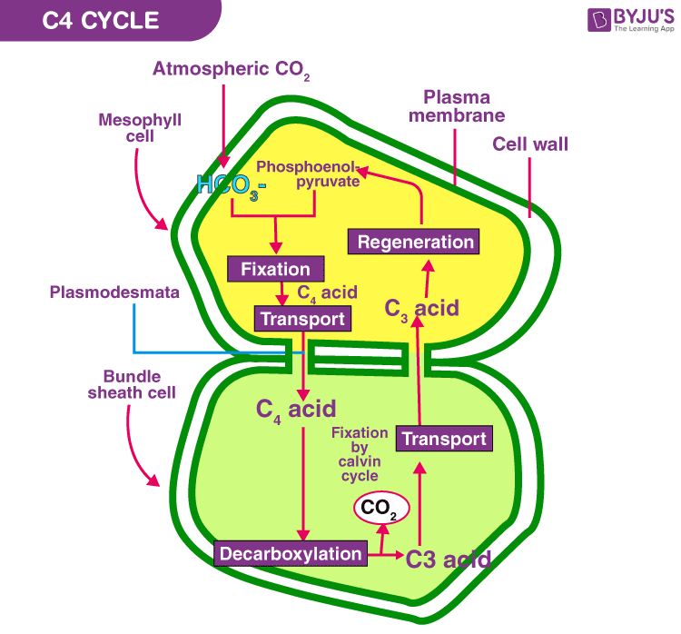C4 cycle