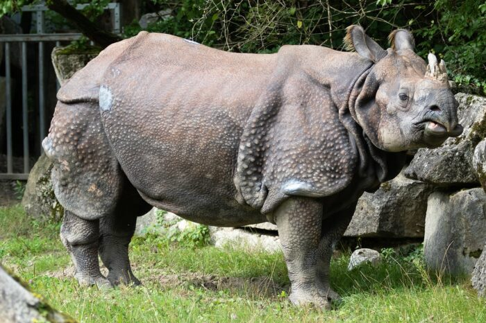 Indian Rhino - UPSC Environment and Ecology