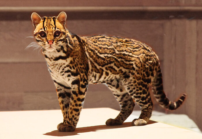 Fishing Cat: UPSC Environment and Ecology