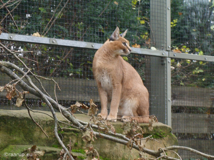 Caracal: UPSC Envronment and Ecology