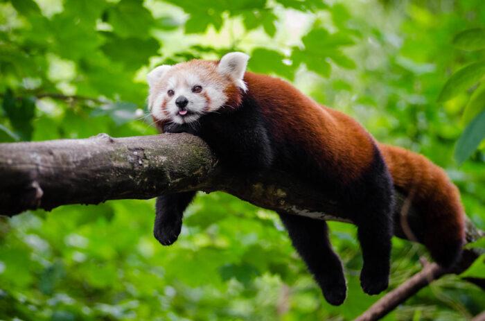 Red Panda: UPSC Environment and Ecology