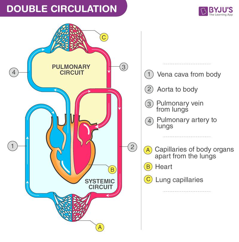 Double Circulation