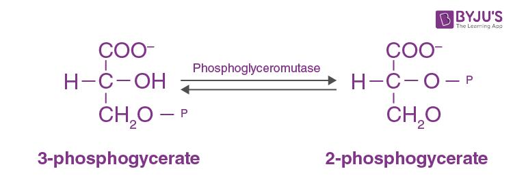 Phosphoglyceromutase