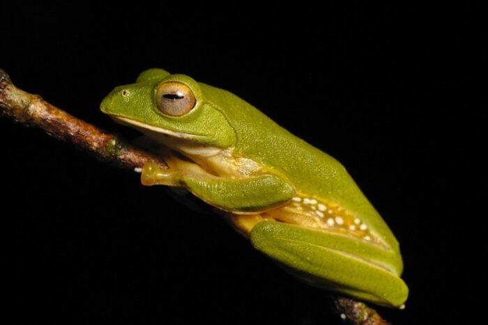 Anaimalai flying frog