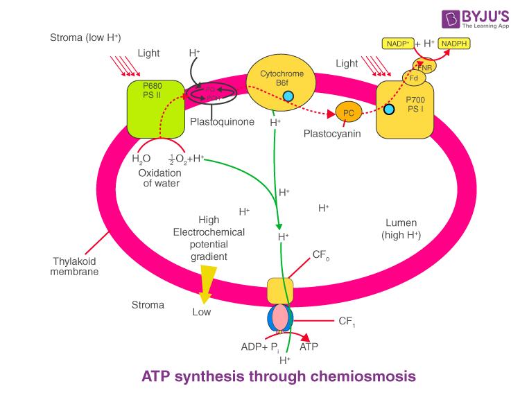 ATP Synthesis through Chemiosmosis