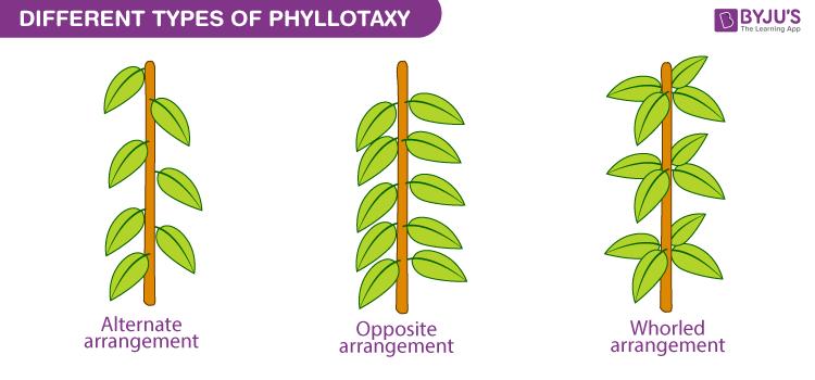 Phyllotaxy