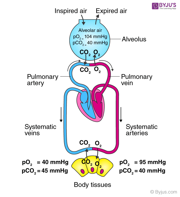 Exchange of gases in alveoli and tissues