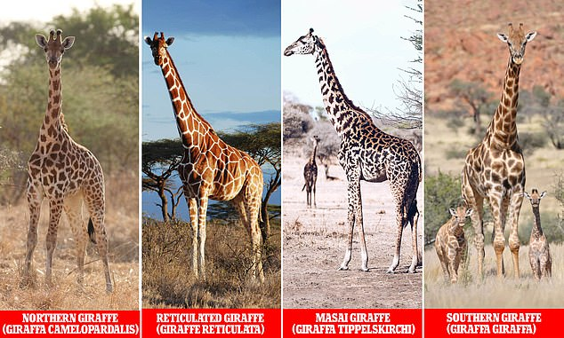Efforts to map the genome of the African giraffe helped scientist discover four new species of giraffe that have been roaming in the continent | Source: Daily Mail