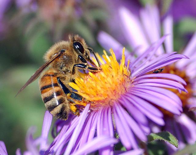 Honey bee near a flower. Image Source: Wikimedia Commons