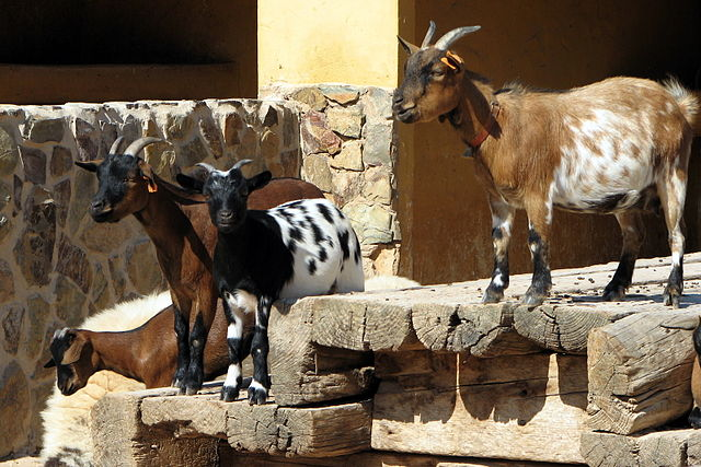 Algarve goats in Portugal. Image source: Wikimedia Commons
