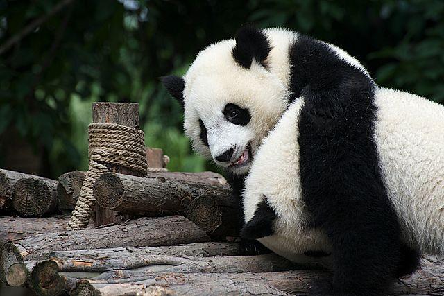 Giant Pandas playing. Image source: Wikimedia Commons
