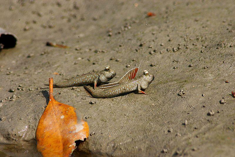 A mudskipper. Image source: Wikimedia Commons