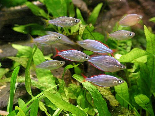 Can you spot the gills on the side of these fish? Image source: Wikipedia Commons